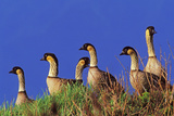 Hawaiian Nene Geese Photographic Print