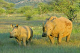 White Rhinoceros Female and Young in Savannah Photographic Print