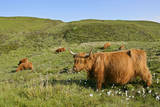 Highland Cattle Herd on Moorland Photographic Print