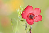 Scarlet Flax Single Blossom of a Scarlet Flax Photographic Print