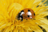 7-Spot Ladybird on Dandelion Flower Photographic Print