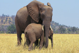 African Elephant Female, Cow with Young Calf Fotodruck