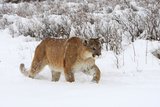 Puma in Snow Photographic Print