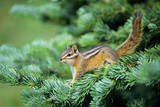 Yellow-Pine Chipmunk on Subalpine Fir Branch Photographic Print