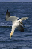 Northern Gannet Diving for Fish Reproduction photographique