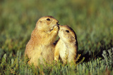 Black-Tailed Prairie Dogs Greeting One Another Photographic Print