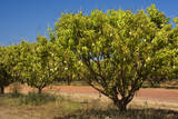 Australian Kensington Mango Orchard with Immature Photographic Print