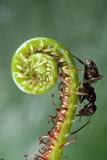 Black Garden Ant on Sundew Curl Fotografisk tryk