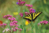 Tiger Swallowtail Male on Phlox, Summer Photographic Print