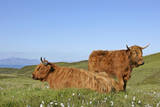 Highland Cattle Two Adults with One Resting On Photographic Print