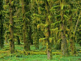 Rain Forest Moss Covered Sitka Spruce Trees Photographic Print
