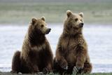 Alaskan Brown Bear Sub-Adults Photographic Print