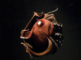 Vampire Squid Going into Opineappleo Defense Photographic Print