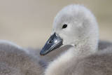Mute Swans Chick Impressão fotográfica