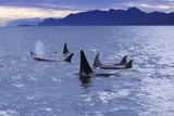 Killer Whale Traveling Through the Montague Photographic Print