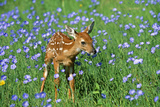 White-Tailed Deer Fawn in Flowers Photographic Print