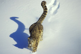 Snow Leopard Endangered Species Photographic Print