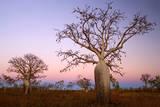 Boabs Bushland Photographic Print
