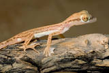 Arabian Short-Fingered Gecko Photographie