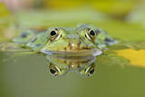 Edible Frog Front Portrait of Frog in Water Photographic Print