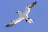 Northern Gannet in Flight Photographic Print