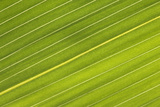 Chilean Bamboo Close-Up of Parallel Leaf Veins Photographic Print