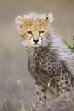 Cheetah 10-12 Week Old Cub Photographic Print