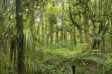 Kauri Forest Lush Kauri Forest with Ferns And Photographic Print