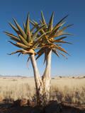 Aloe Trees Photographic Print