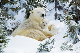 Polar Bear Rests with 2 Cubs Photographic Print