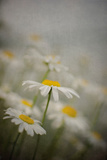 Daisies with Gray Fog Photographic Print by Elizabeth Urqhurt