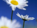 Oxeye Daisies Blossoms Against Blue Sky Photographic Print