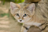 Sand Cat Photographic Print