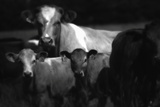 Cows in a Field Photographic Print by Clive Nolan