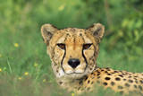 Cheetah Male, in Rainy Season with Green Vegatation Photographic Print
