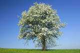 Pear Tree Flowering Pear Tree on a Meadow in Spring Photographic Print