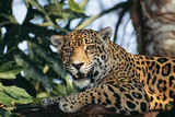 Jaguar Side View, Sitting in a Tree, Close Up Photographic Print