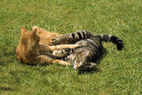 Tabby and Ginger Cats Play-Fighting Photographic Print