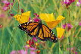 Milkweed Butterfly on California Photographic Print