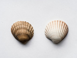 Sea Shells Photographic Print by Clive Nolan