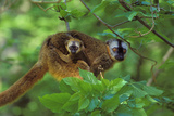 Red-Fronted Brown Lemur Mother Carrying Young Photographic Print