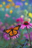 Milkweed Butterfly on Coneflower Photographic Print
