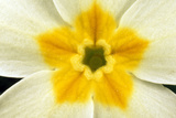 Primrose Flower Close-Up Photographic Print