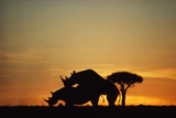 Black Hook-Lipped Rhino Mating at Sunset Photographic Print