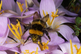 Common Bumblebee on Crocus Flower Collecting Pollen Photographic Print