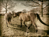 Suffolk Ponies Photographic Print by Tim Kahane