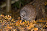 Brown Kiwi Adult One Poking in the Ground Photographic Print