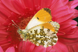Orange-Tip Butterfly Male on Pink Gerbera Flower Photographic Print