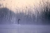 Black-Necked Swan Male Impressão fotográfica