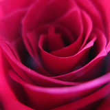 Red Rose Photographic Print by Carolina Hernandez